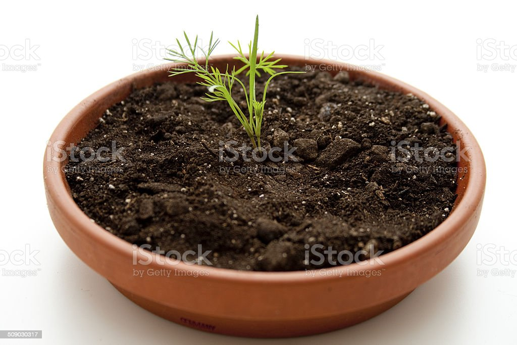 Young dill in earth stock photo