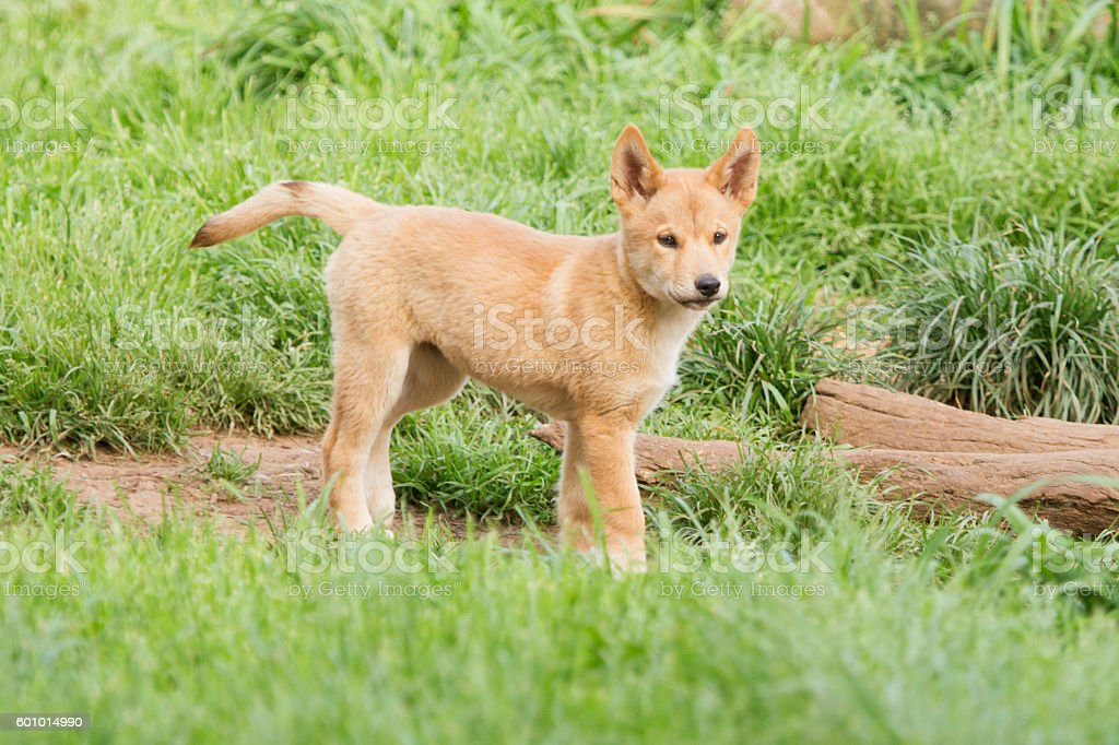 Young Dingo Pup stock photo