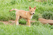 Young Dingo Pup