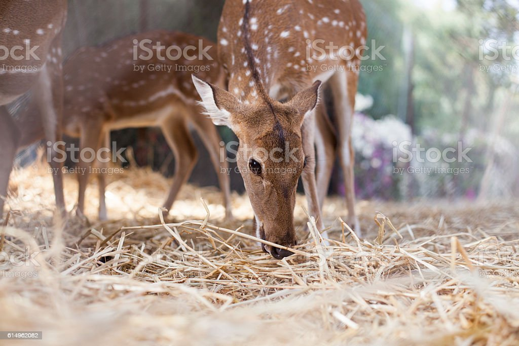 Young doe eats the hay stock photo