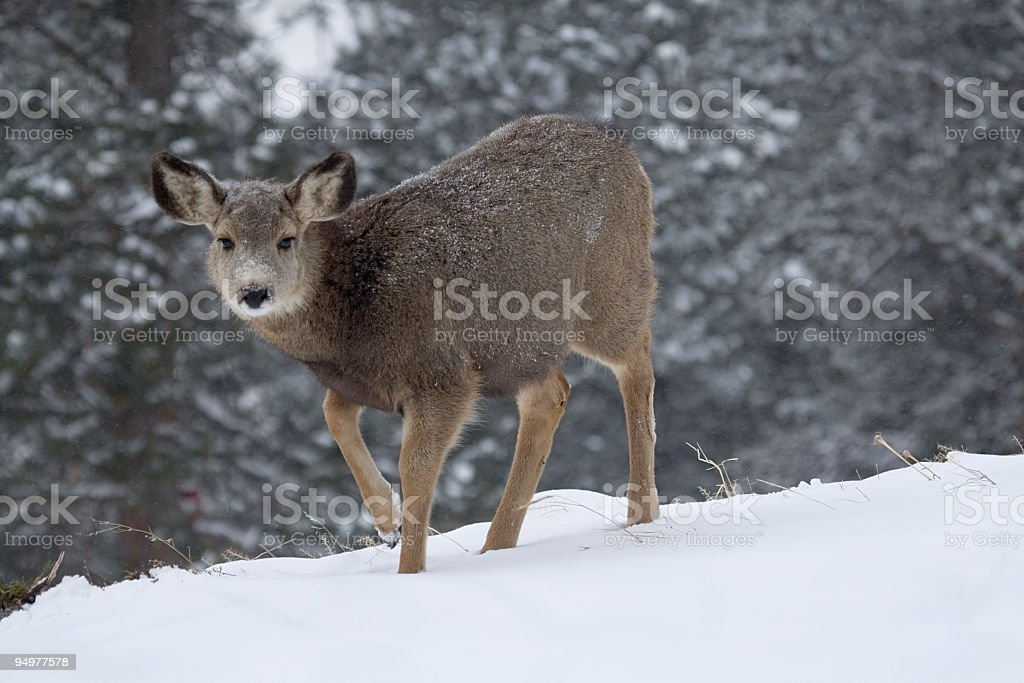 Young Doe in Winter stock photo