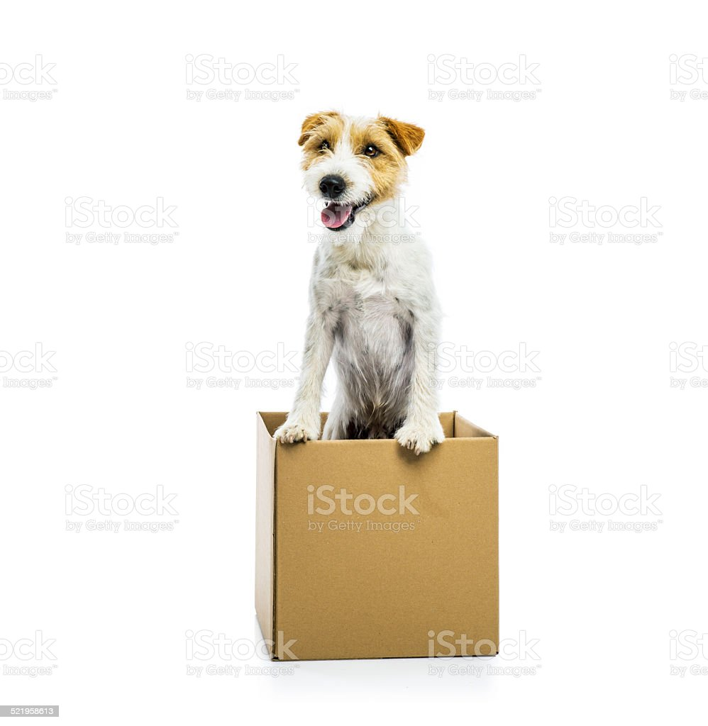 Young dog inside a cardboard box isolated stock photo
