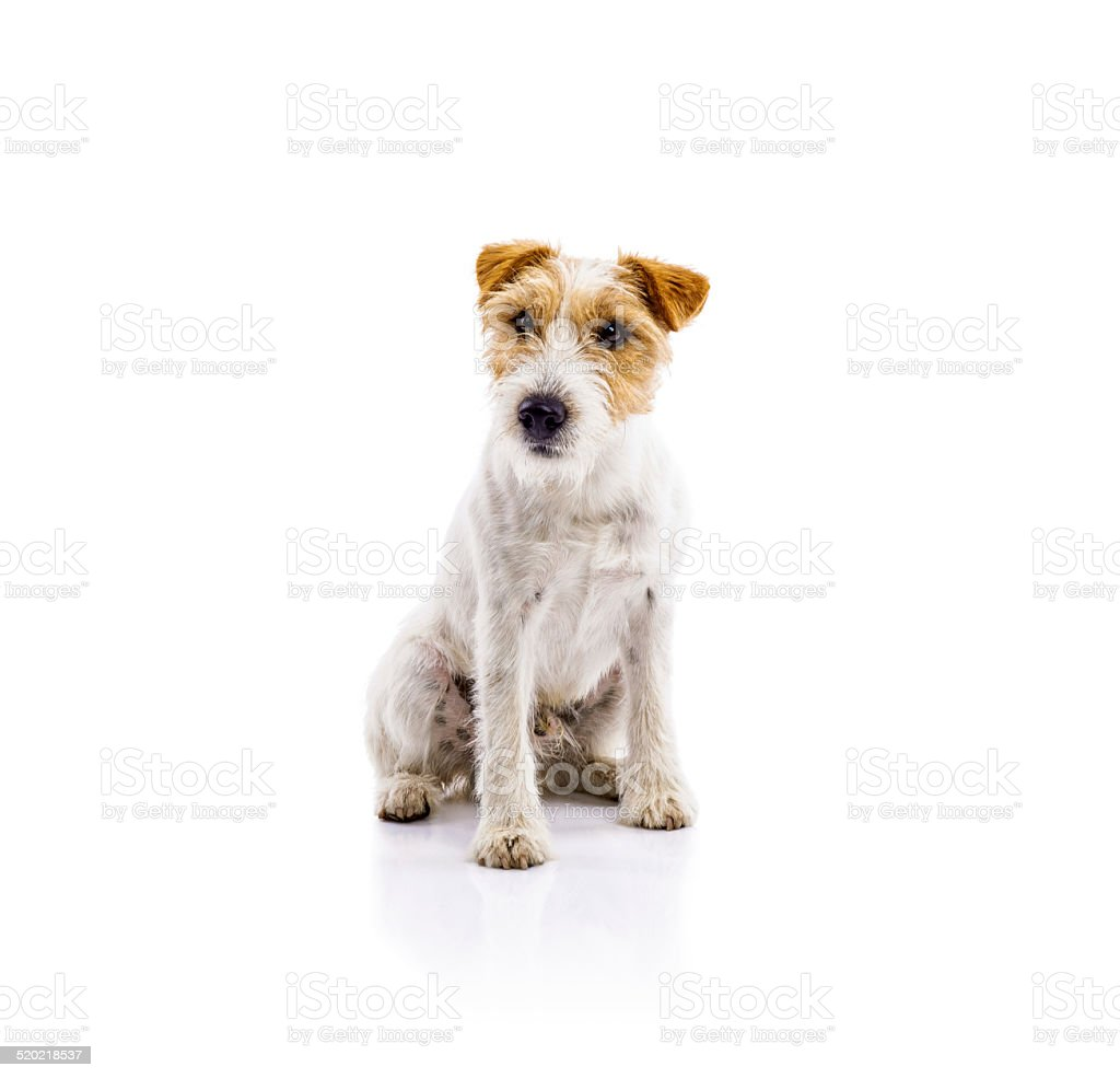 Young dog isolated stock photo