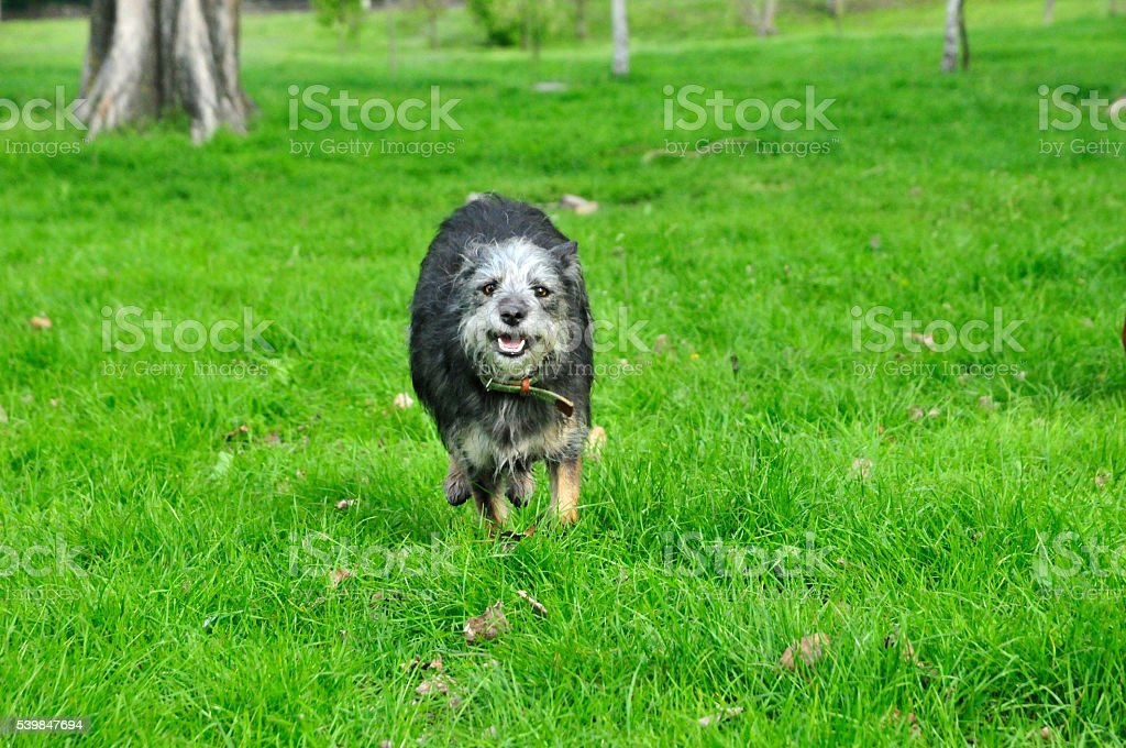 Young dog running on the grass. stock photo