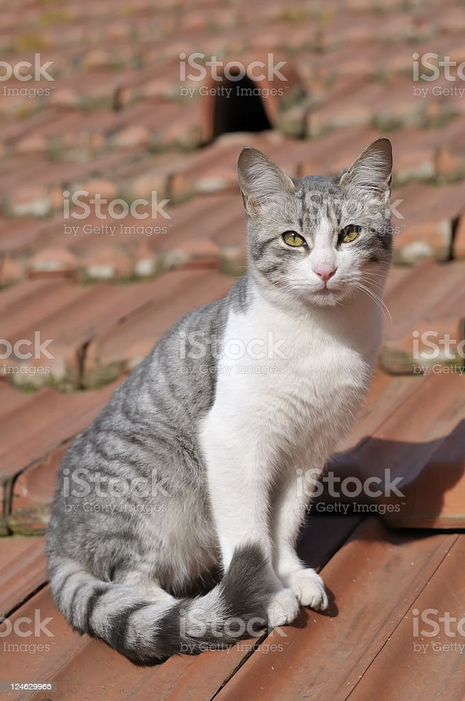 young domestic cat stock photo