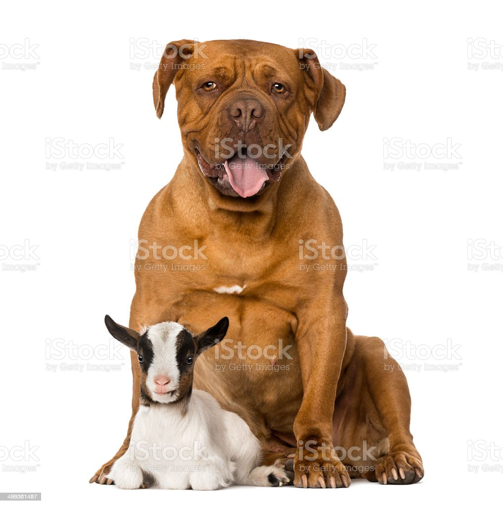 Young domestic goat and a Dogue de Bordeaux stock photo