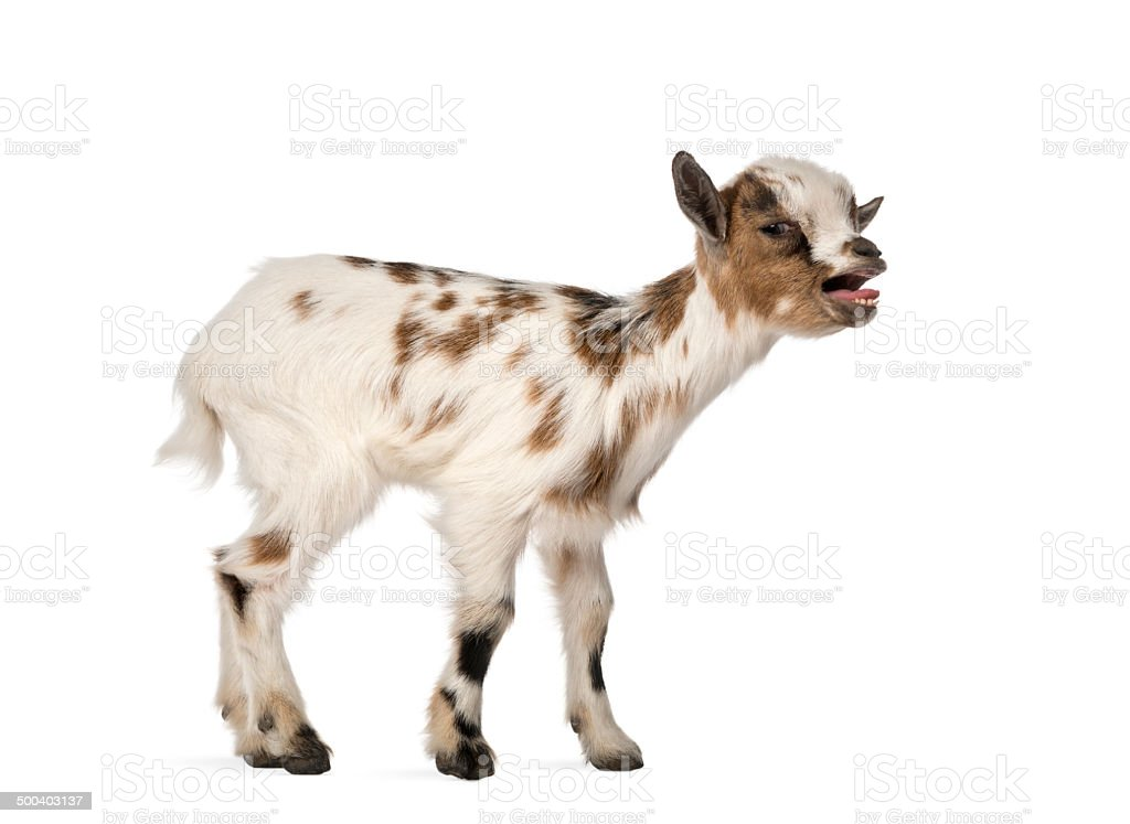 Young domestic goat bleating, kid, isolated on white stock photo