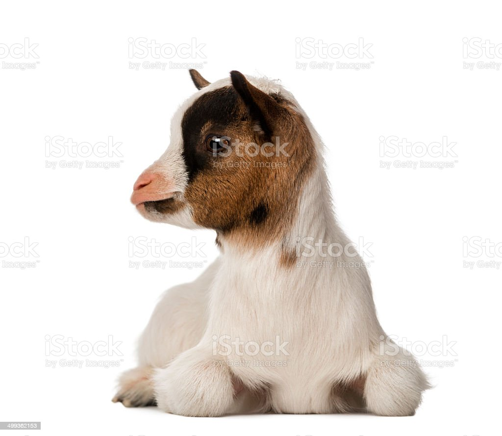 Young domestic goat stock photo