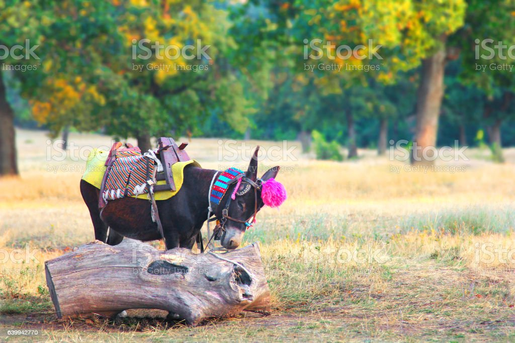 Young donkey for riding tourists. Bulgaria stock photo