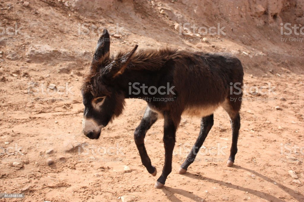Young donkey in ancient nabatean city of Petra, Jordan stock photo