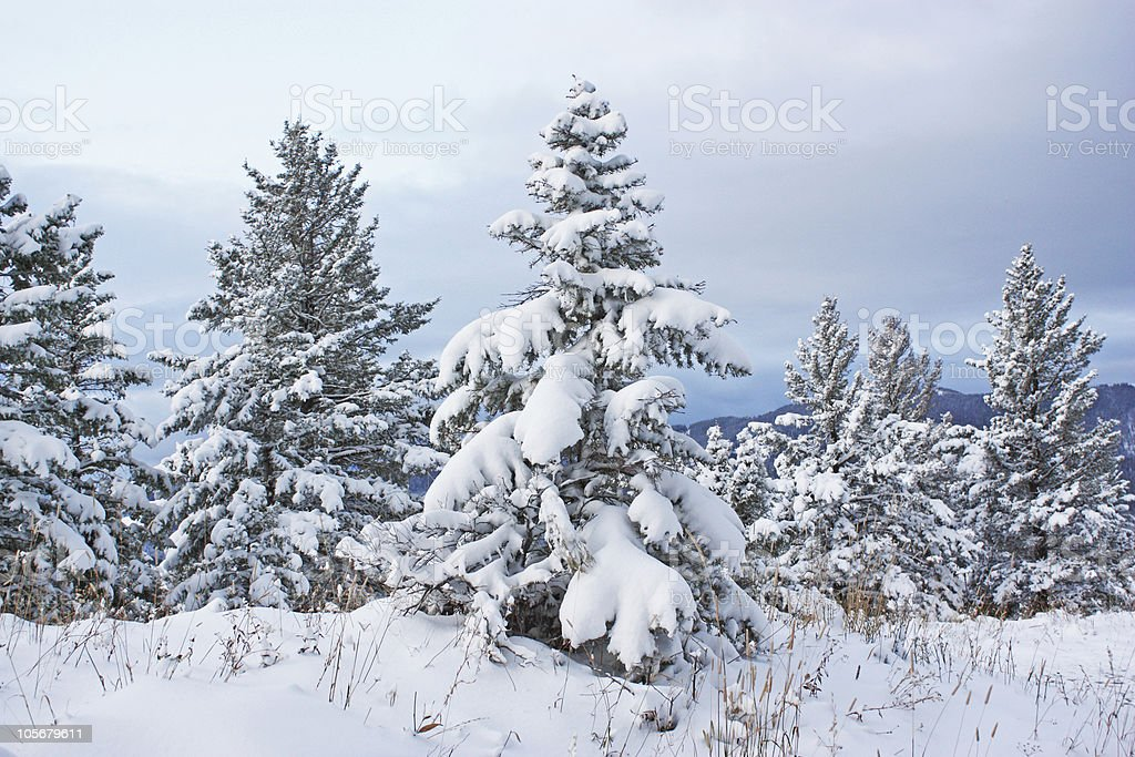Young Douglas fir laden with snow stock photo