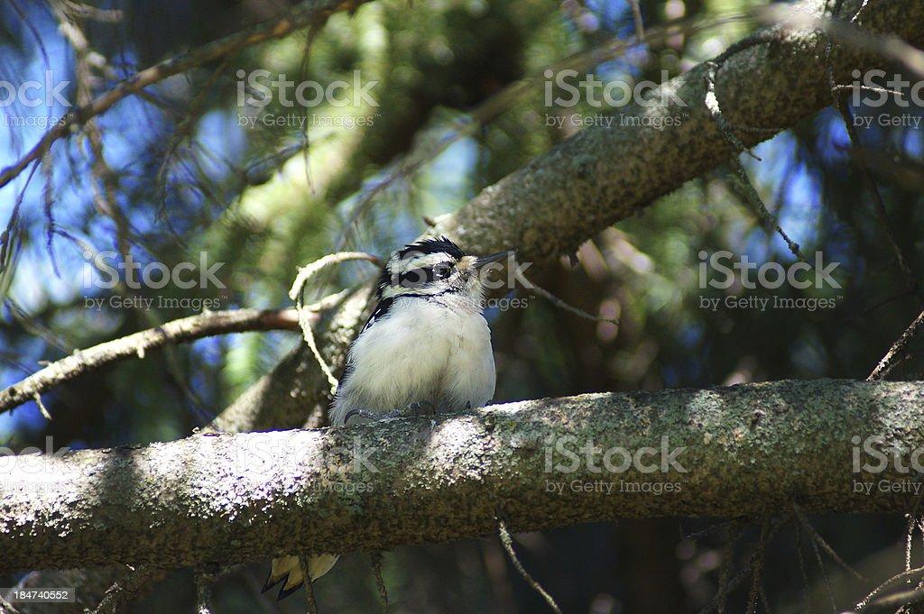 Young Downy Woodpecker (Picoides villosus) royalty-free stock photo