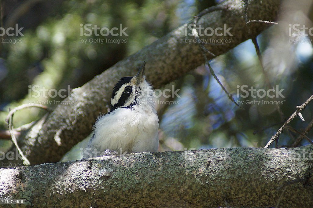 Young Downy Woodpecker (Picoides villosus) royalty-free stock photo