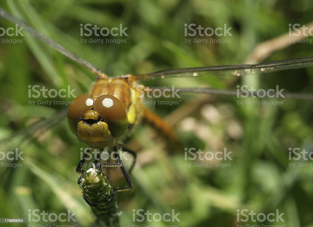 young Dragonfly decentred royalty-free stock photo