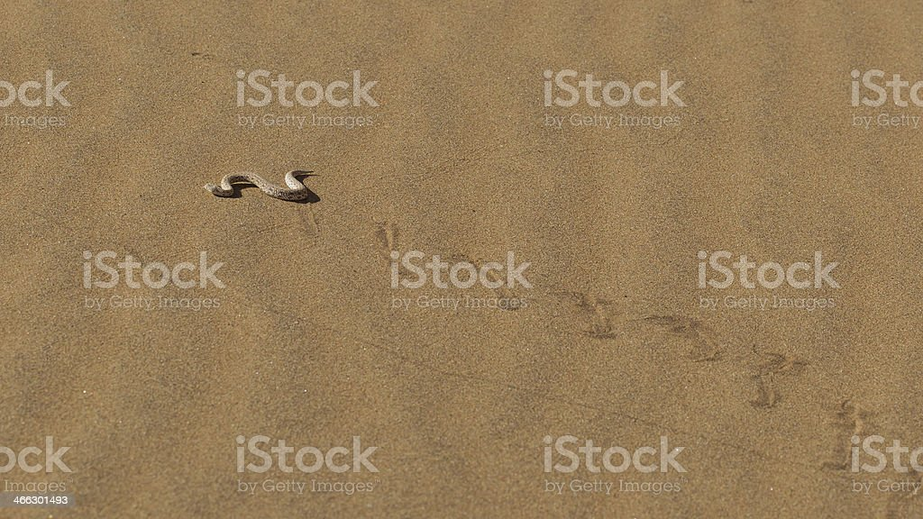 Young dune adder or sidewinder snake with trail stock photo