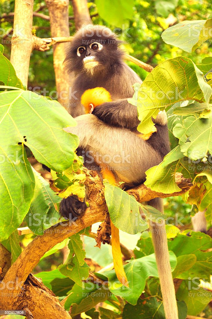 young dusky langur in hug of mother ,Dusky leaf monkey stock photo