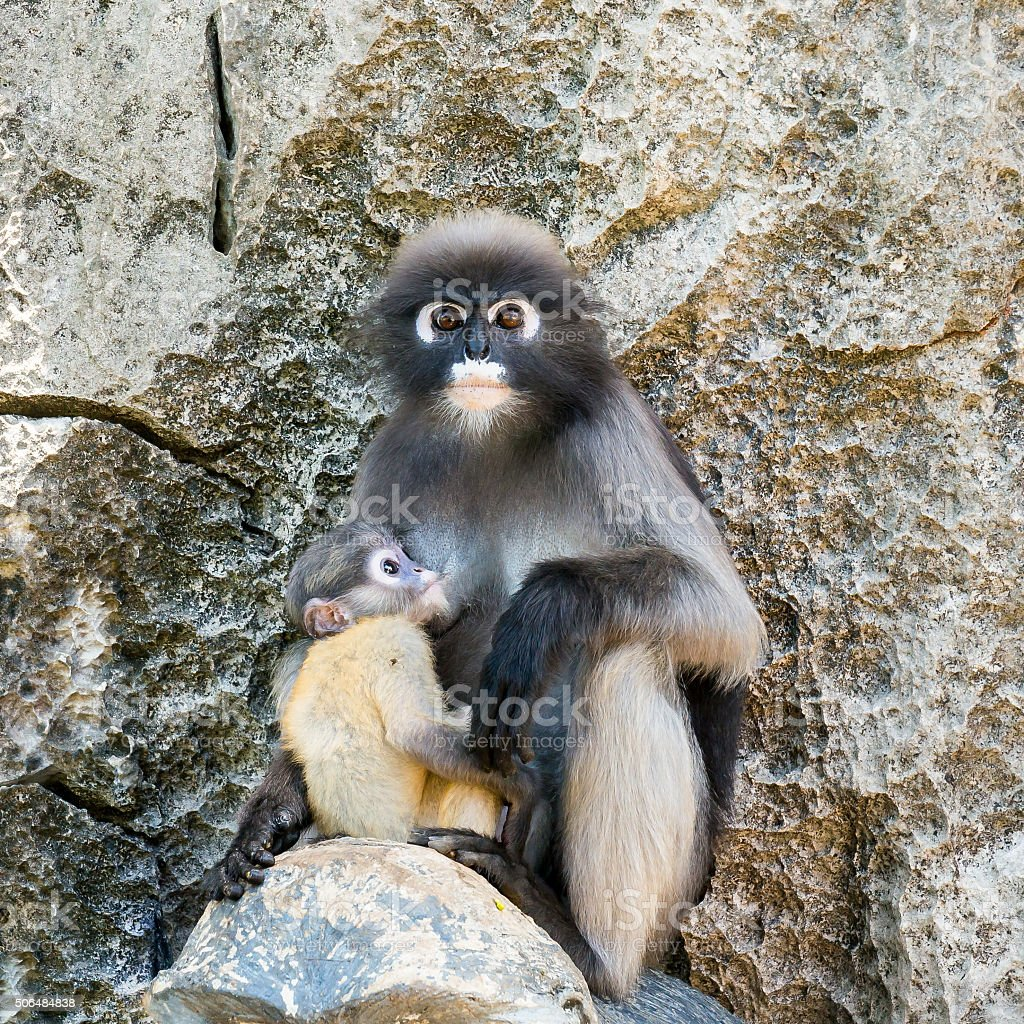 young dusky langur in hug of mother stock photo