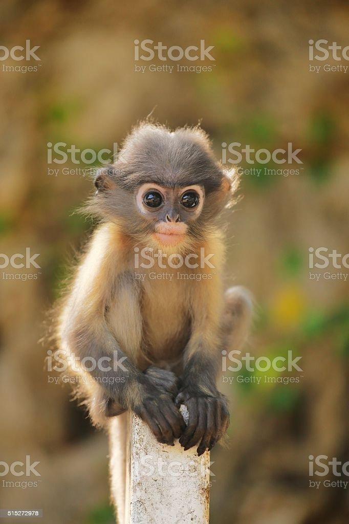 Young dusky leaf mokey stock photo