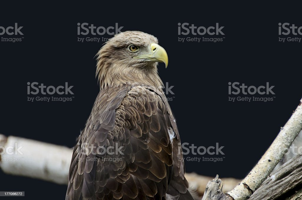 Young eagle royalty-free stock photo