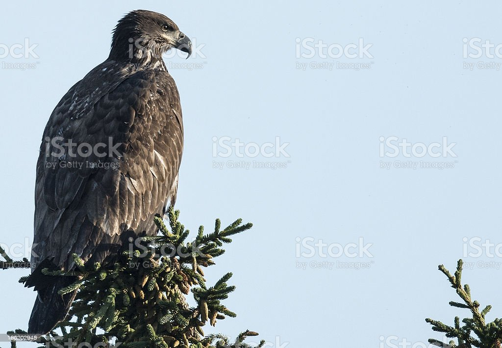 Young eagle stock photo