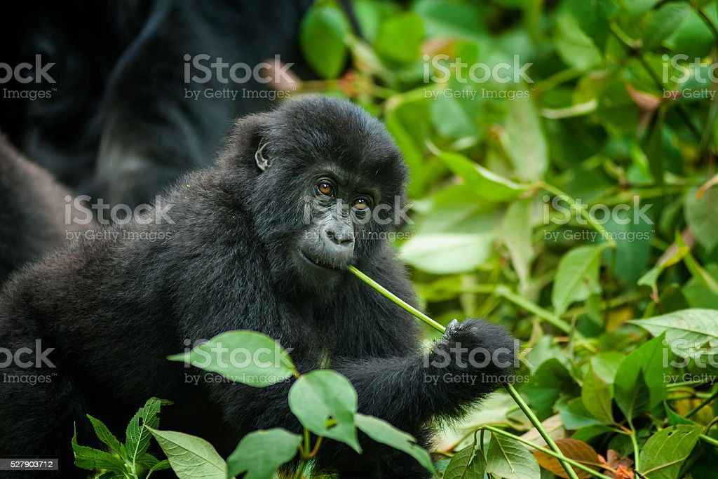 young Eastern Lowland Gorilla in Congo is feeding, wildlife shot stock photo
