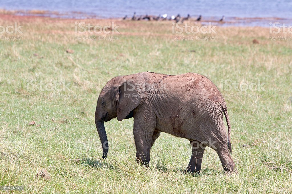 Young elephant calf alone on the open plains stock photo