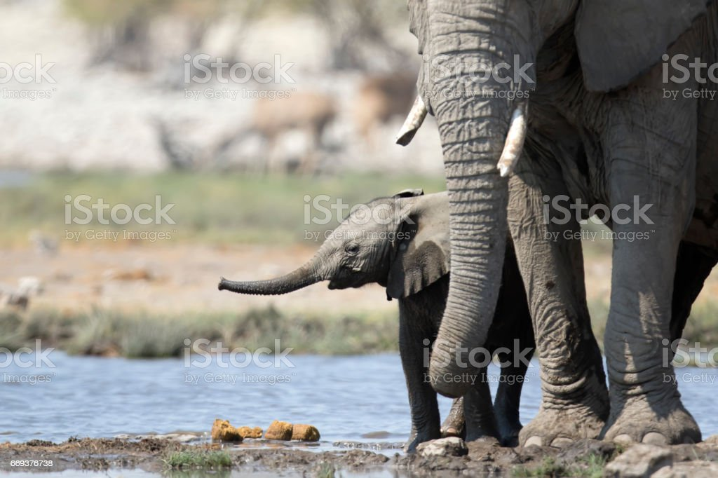 Young elephant calf stock photo