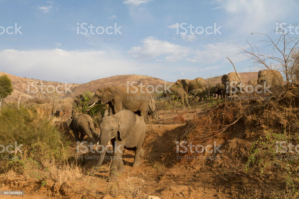 Young elephant carefully descending steep hill stock photo