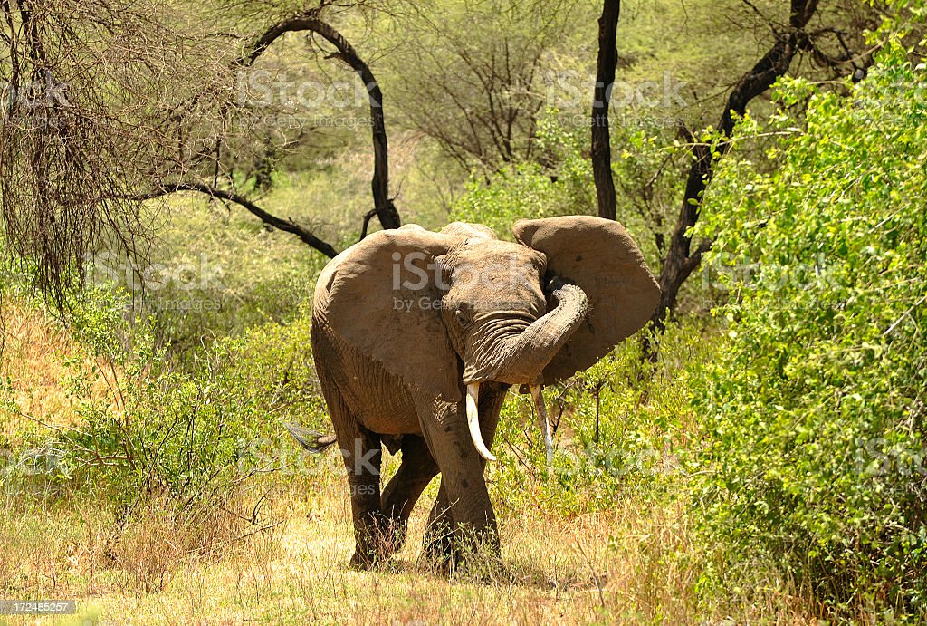 Young elephant in the bush stock photo