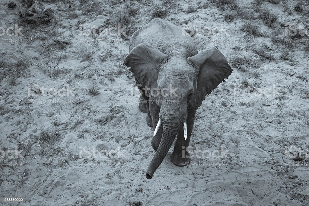 Young Elephant stock photo