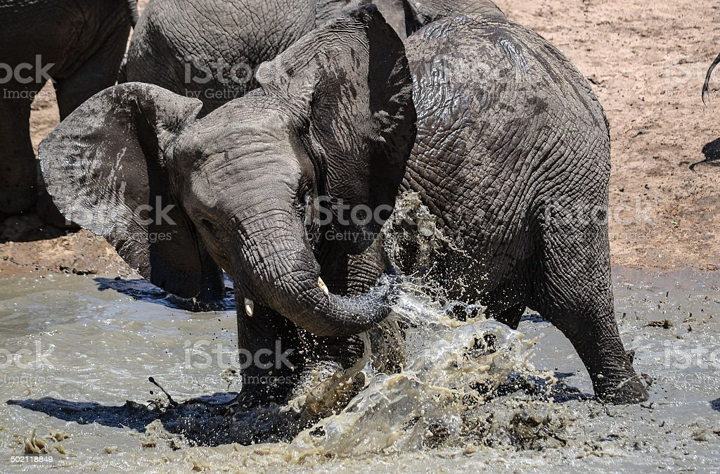 Young elephant playing in water stock photo