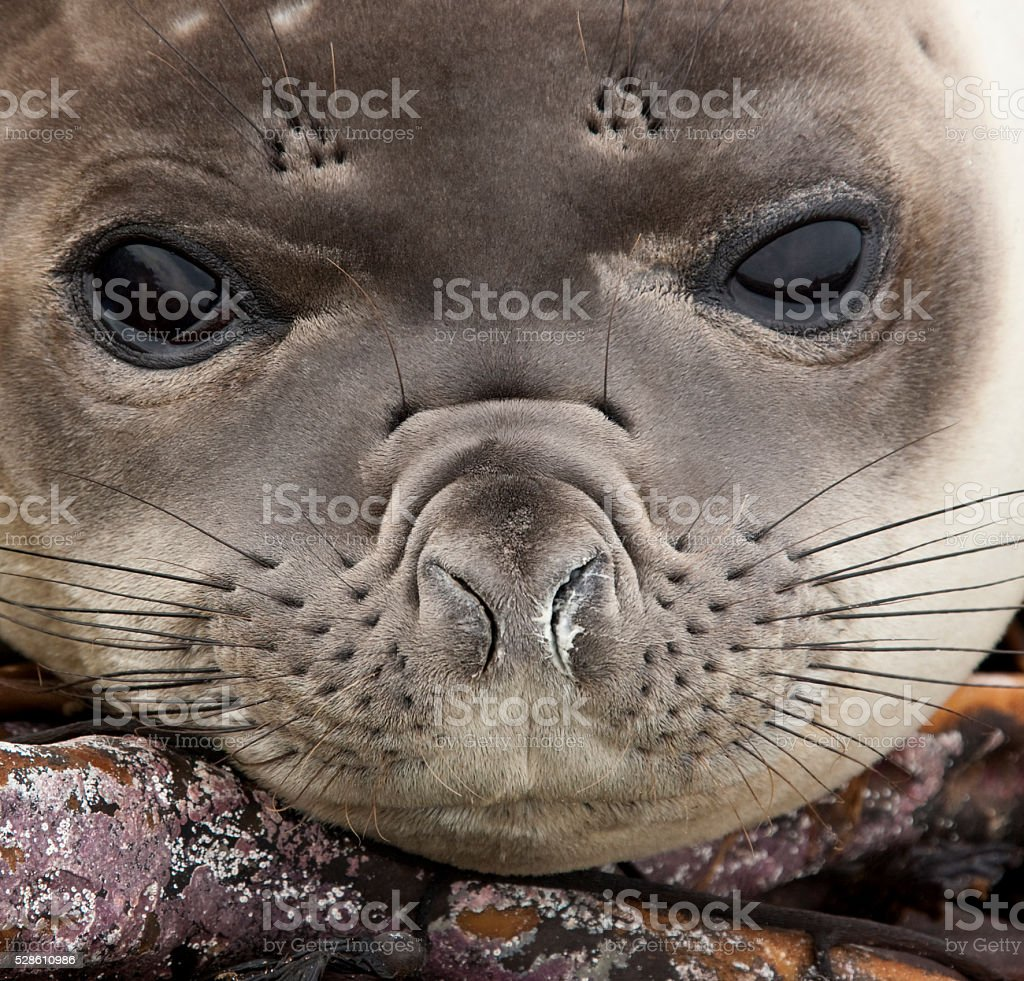 Young Elephant Seal - Falkland Islands stock photo