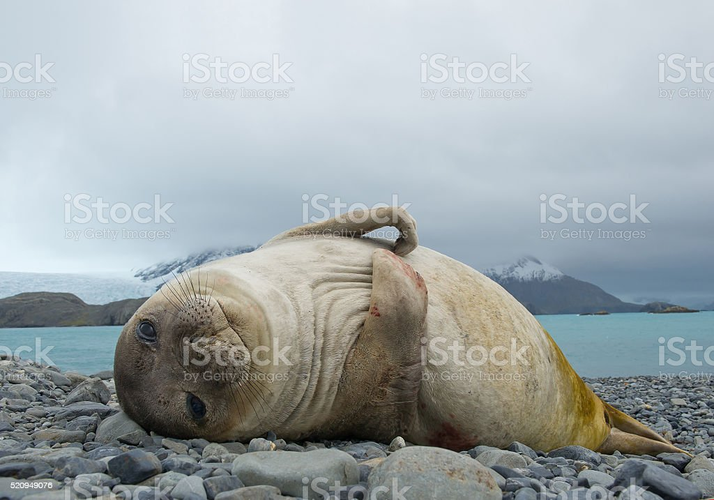 Young elephant seal lying on the beach stock photo