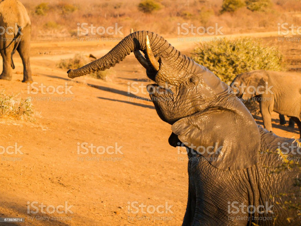 Young elephant shiny and wet from playing in mud lifts trunk stock photo