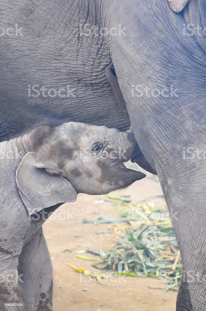 young  elephant suck up milk stock photo