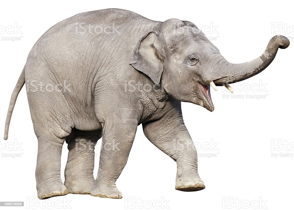 Young elephant with clipping path on white background stock photo