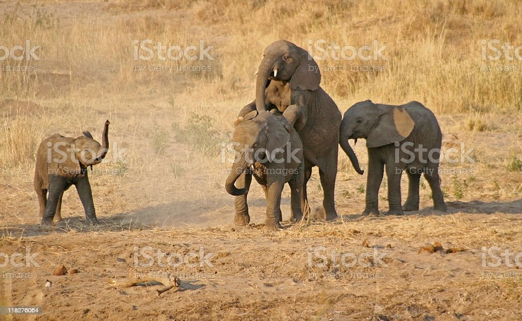 Young Elephants having some fun stock photo