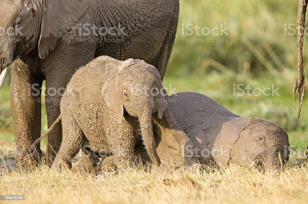 Young Elephants royalty-free stock photo