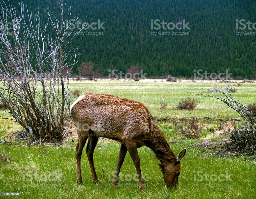 Young Elk Grazing in Spring stock photo