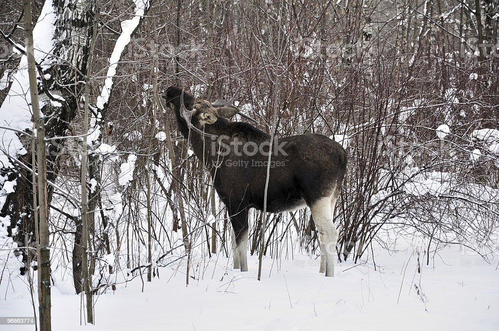 Young elk in a winter forest royalty-free stock photo