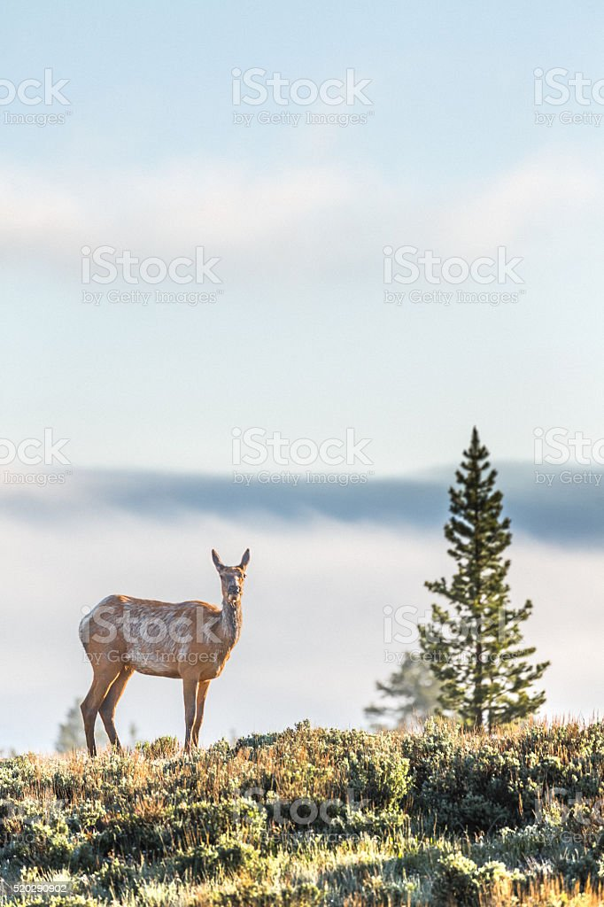 Young elk in the wild stock photo
