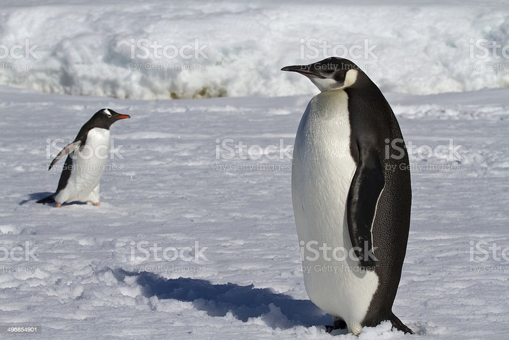 young emperor penguin and Gentoo penguins stock photo