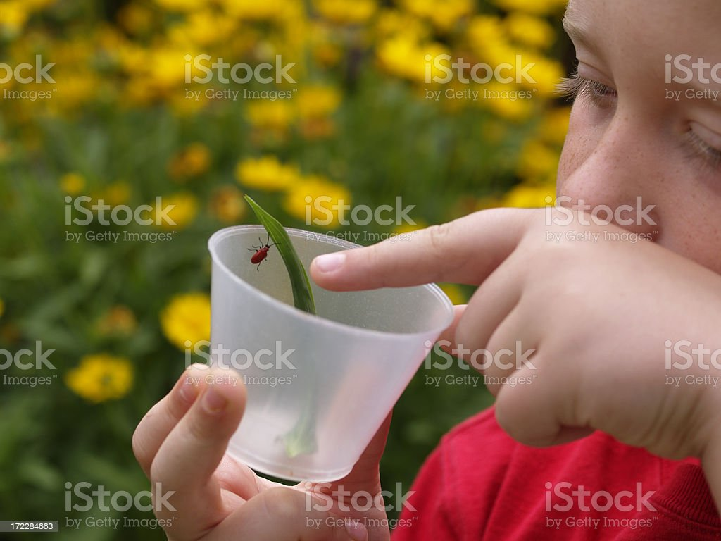 Young Entomologist, Child studding insects, Red beetle stock photo