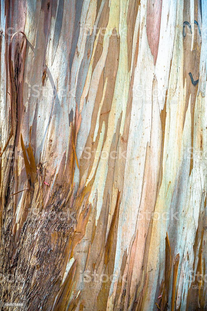 Young Eucalyptus Tree Bark stock photo