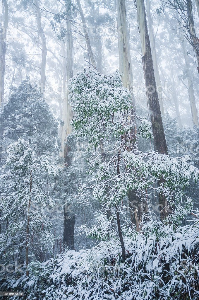 Young eucalyptus tree covered in snow. Winter in Australia stock photo