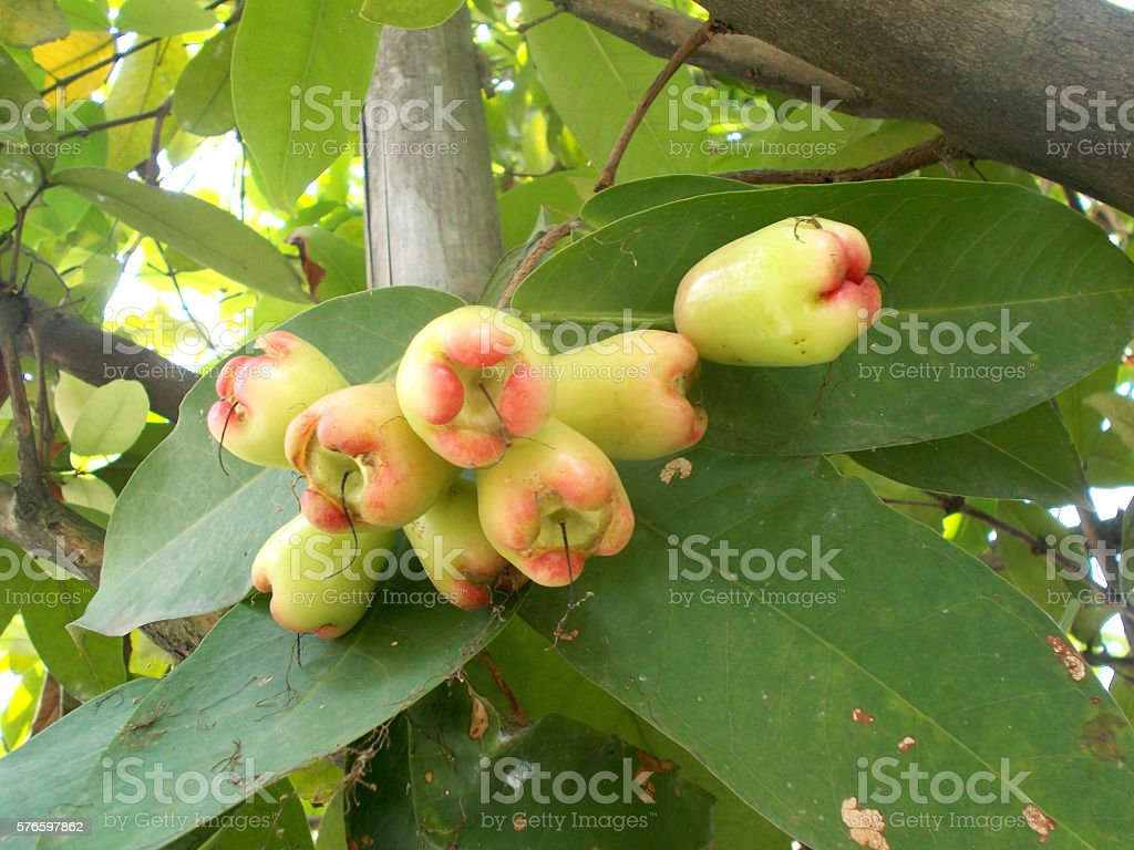 Young eugenia fruits on the tree, java apples stock photo