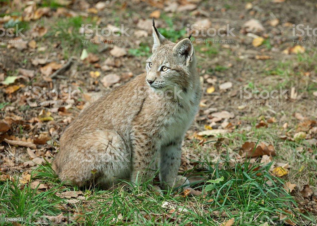 Young Eurasian lynx in autumn royalty-free stock photo