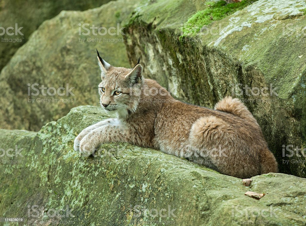 Young Eurasian Lynx Relaxing On A Rock royalty-free stock photo