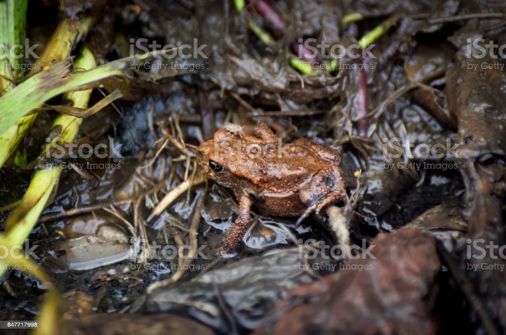 Young European common toad hiding in wet dirt with a fly and earthworms around stock photo