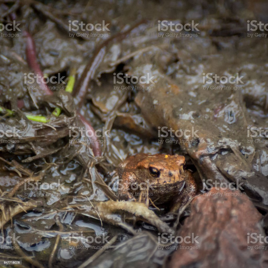Young European common toad hiding in wet dirt with earthworms around stock photo